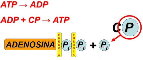 sistema fosfageno